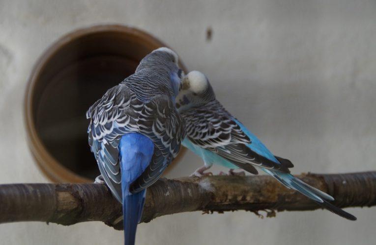 Tips Ekfektif Membuat Suara Burung Pleci Gacor