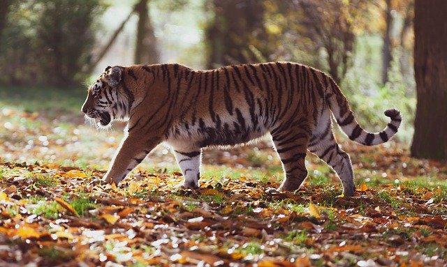Mengenali Nama Ilmiah Harimau yang Terancam Punah