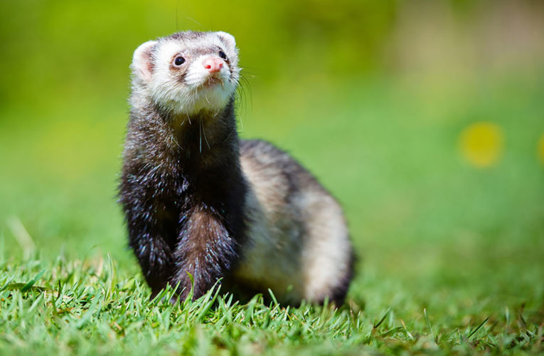 The Different Kinds Of Domesticated Ferrets