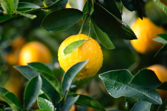 Jangan Asal Membeli Jeruk Lemon, Inilah Tips Memilih Warna Lemon yang Segar