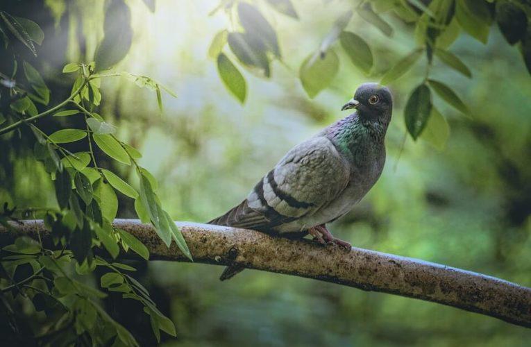 Cara Budidaya Burung Merpati