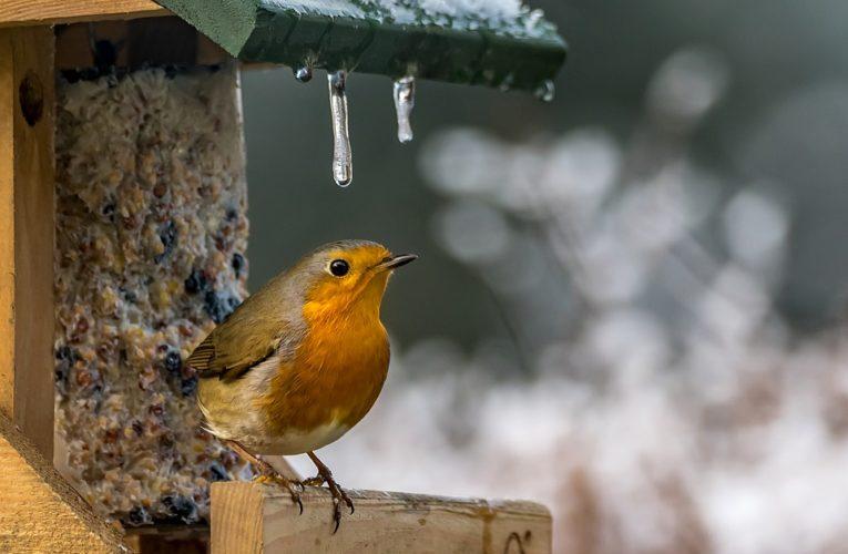 Mengenal Ciri, Karakteristik dan Suara Burung Srigunting