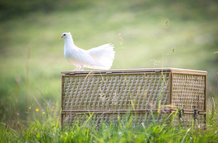 Cara Membuat Jamu Burung Dara