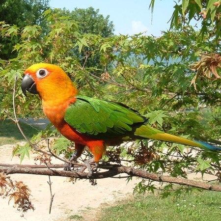 Jenday Conure: Bird Species Profile